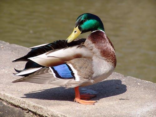 Základová fotografie zdarma na téma kachna divoká, zblízka, zvíře