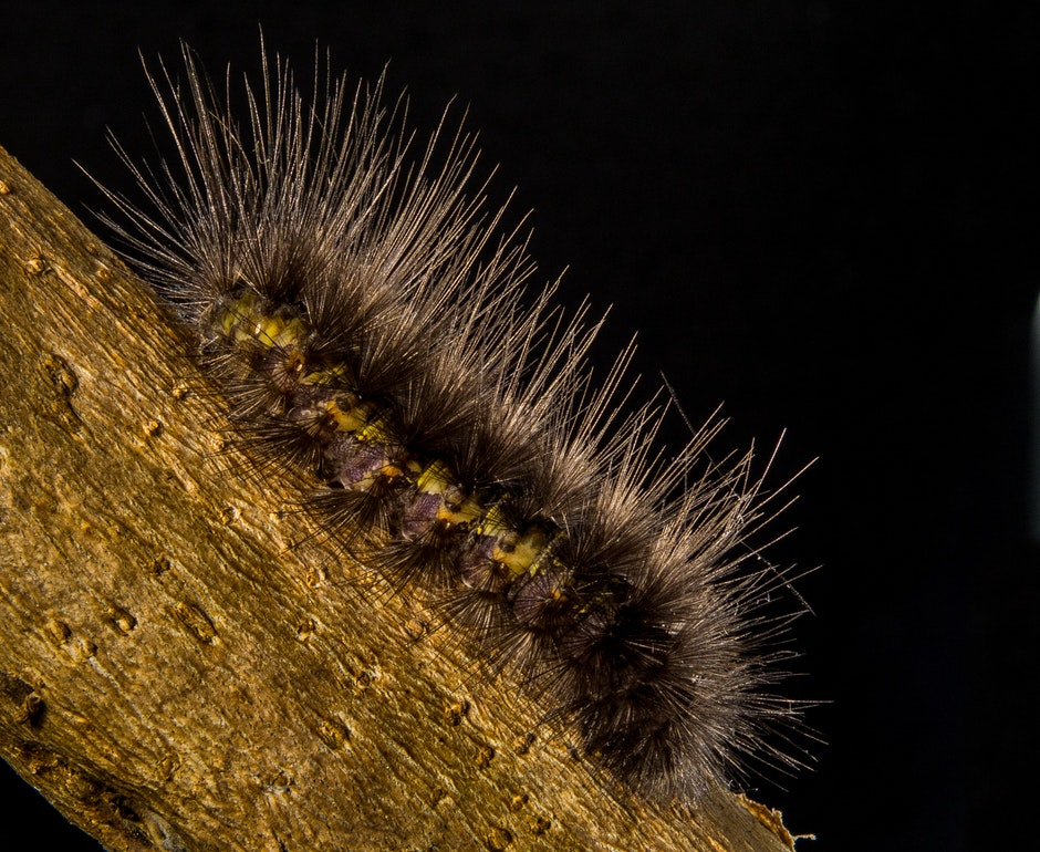 Brown Moth Caterpillar on Brown Trunk