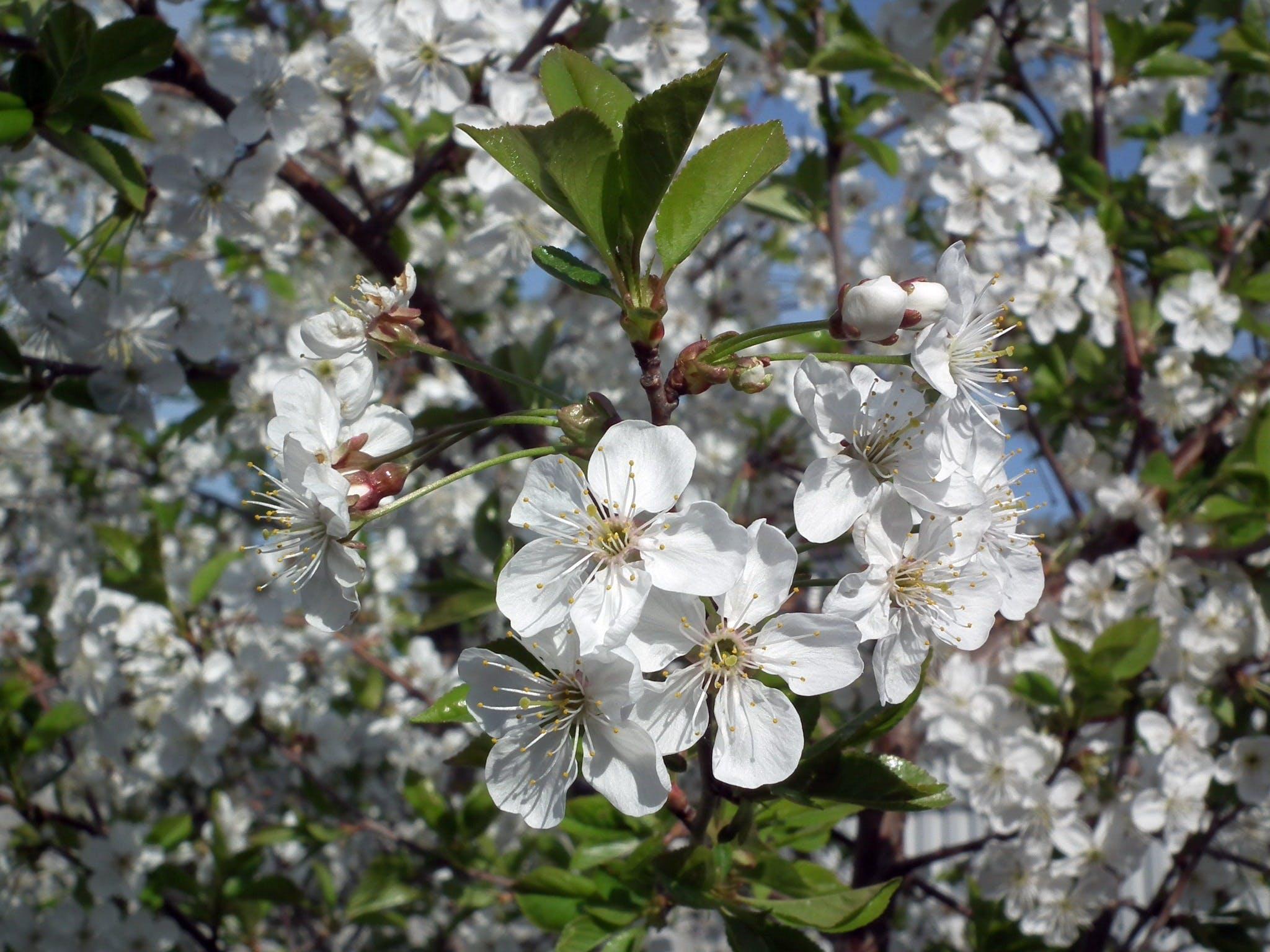 Fotobanka sbezplatnými fotkami na tému biela, flóra, kvet ovocného stromu, kvety