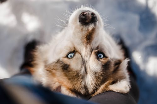Top view adorable fluffy Siberian Husky dog standing near faceless owner legs on snowy ground and looking up at camera on sunny winter day