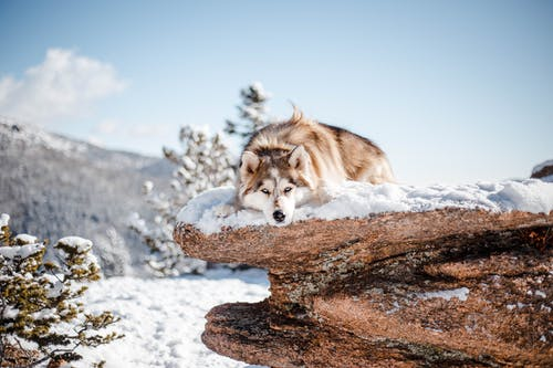 Brown and White Wolf on Brown Rock