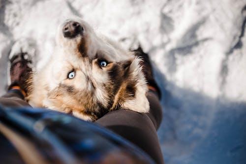 Friendly Husky sitting near faceless owner legs on snowy ground