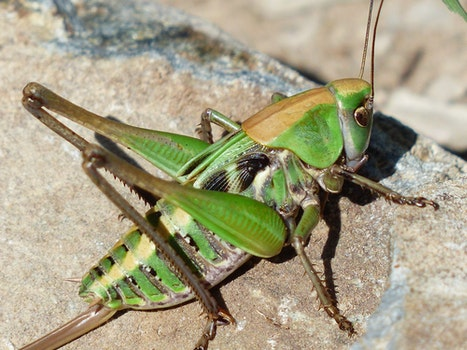 Green Grasshopper on Brown Stone