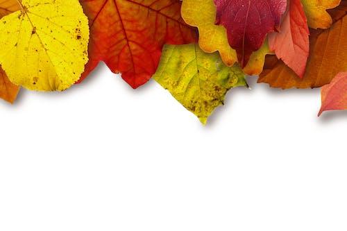 Photos gratuites de coloré, couleur, feuilles d'érable