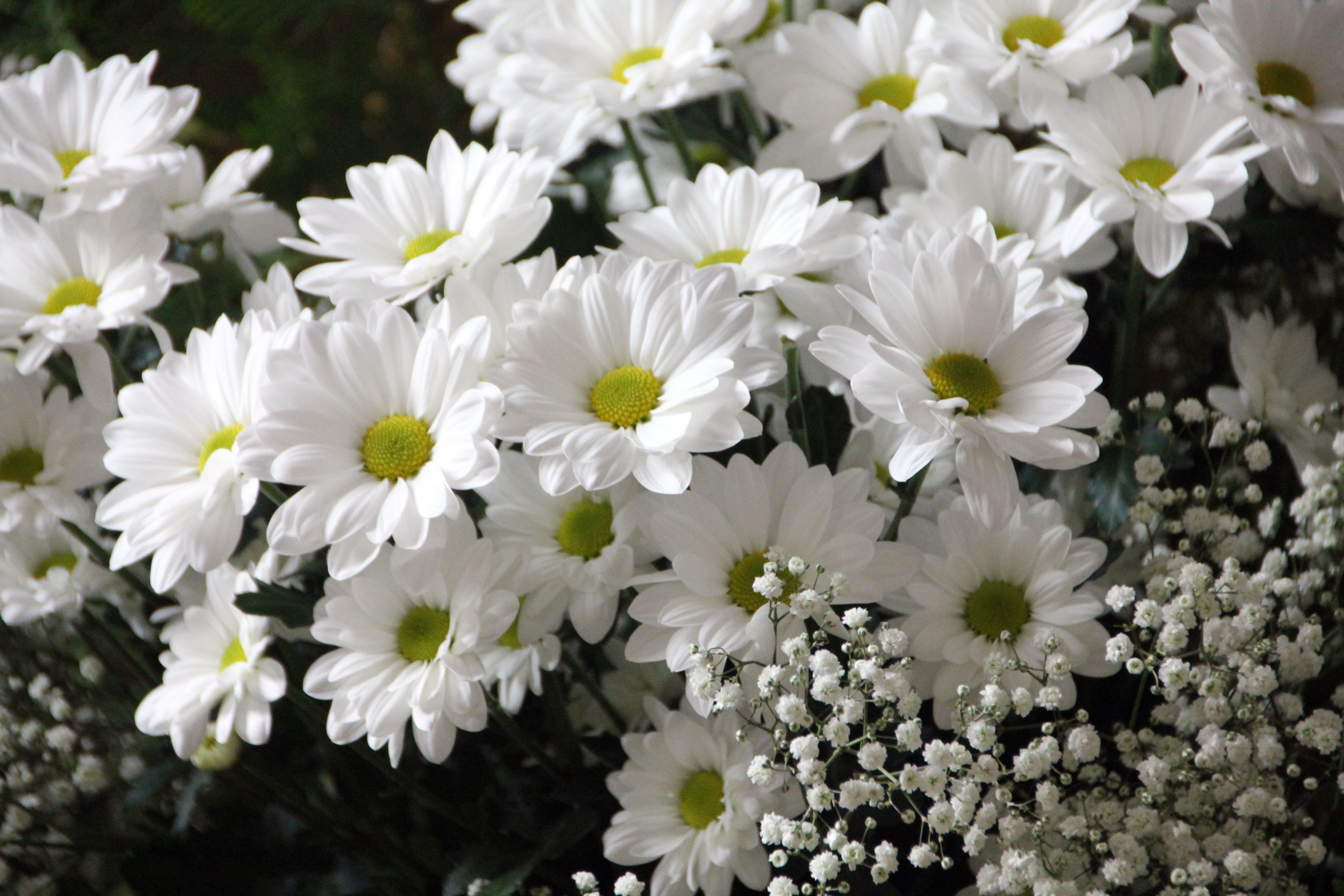 White Daisy Flowers White Baby's-Breath Flowers