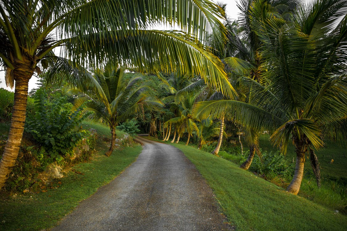 Unpaved Road Surrounded by Coconut Trees