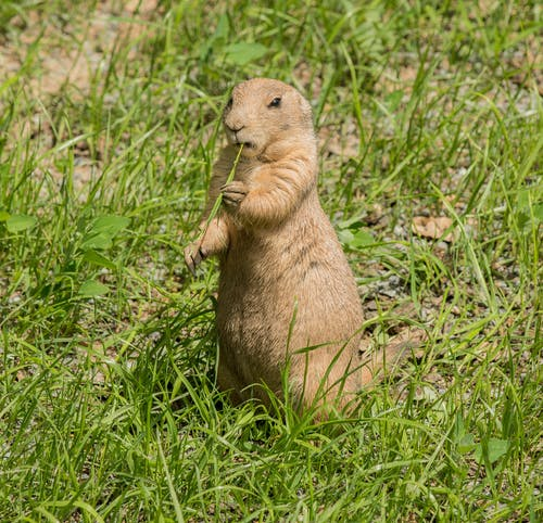 Brown Rodent on Green Grass