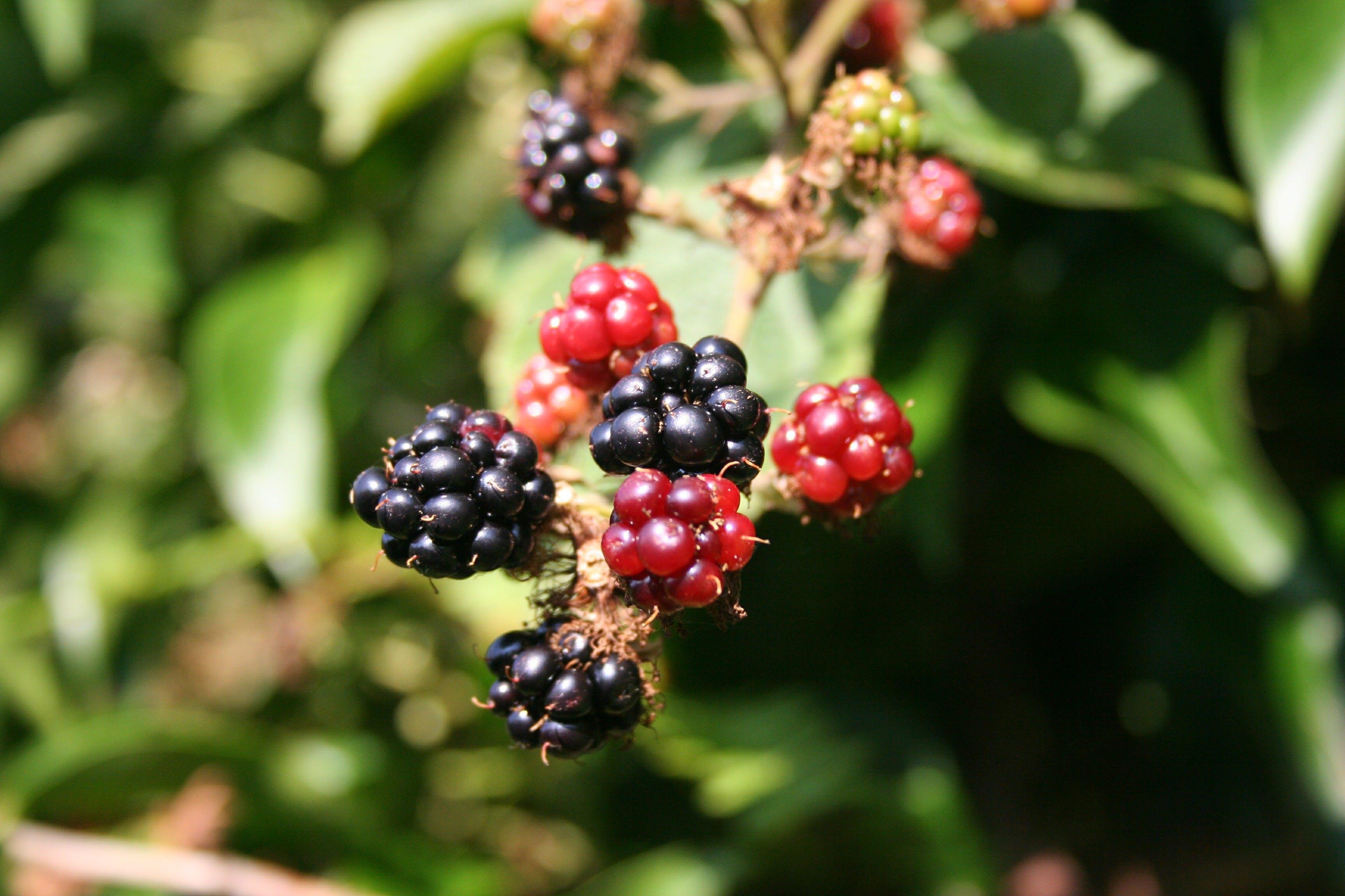 Foto d'estoc gratuïta de baies, Blackberries, collita, colors