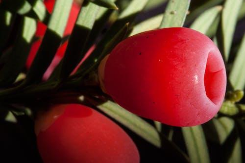 Бесплатное стоковое фото с taxus bacata, английский тис, барвинок малый, европейский тис
