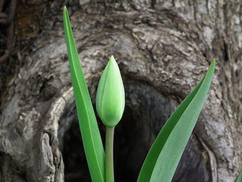 Immagine gratuita di bocciolo, fiore, flora, foglie verdi