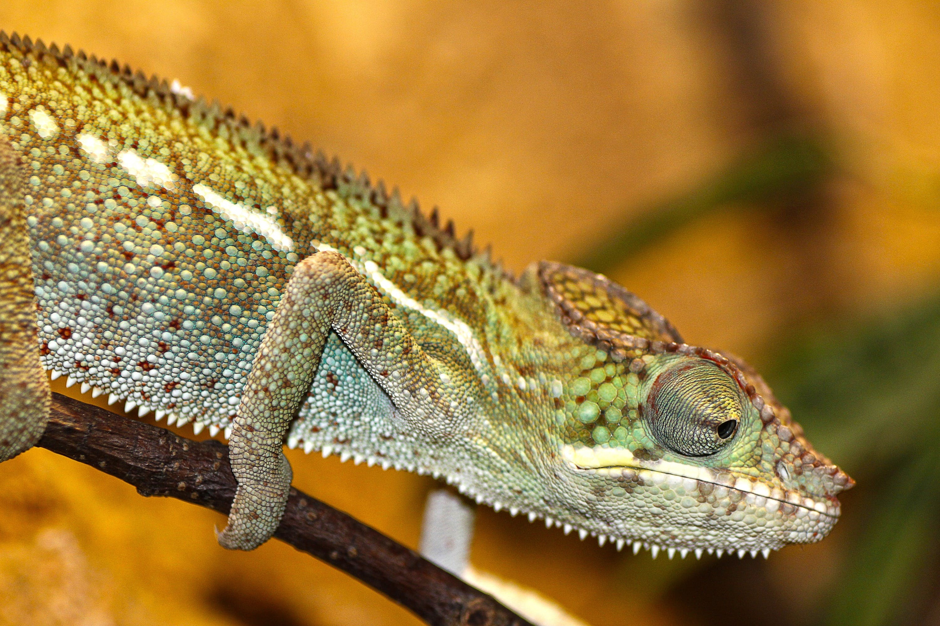 Green and Gray Chameleon
