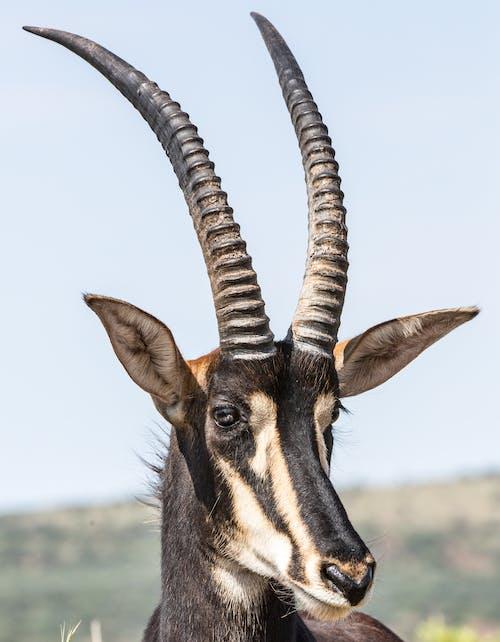 Photo of a Thomson's Gazelle