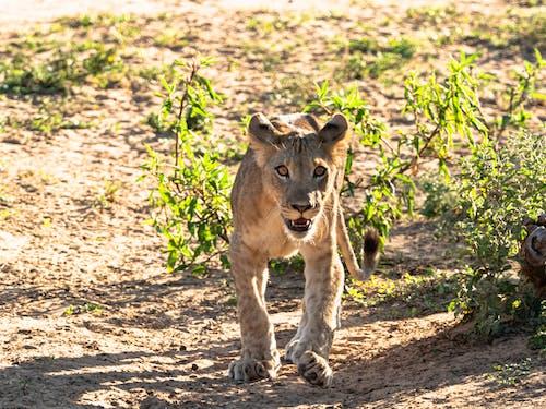 Kostenloses Stock Foto zu african wildlife, afrika, afrikanische einstellung