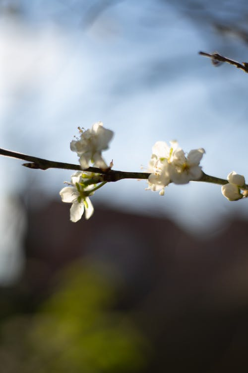 Blooming cherry tree in spring garden