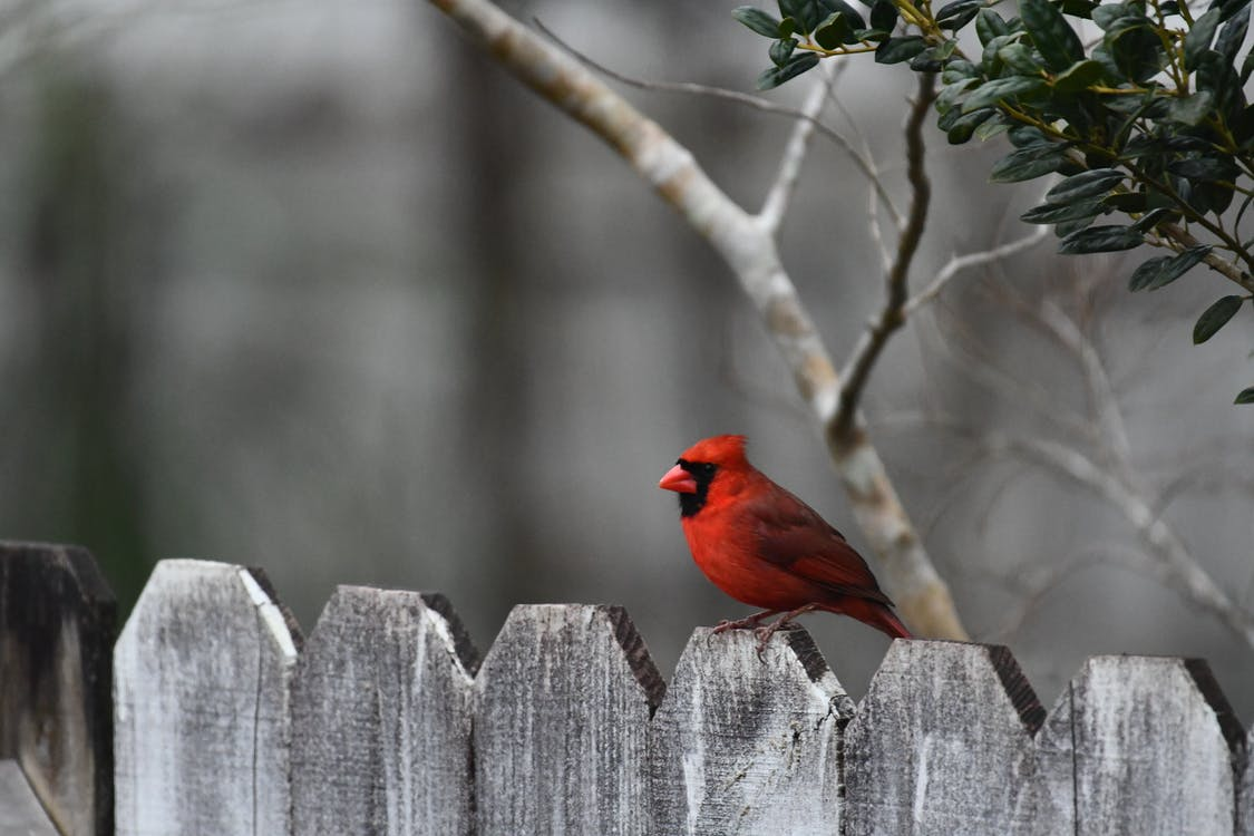 Red Cardinal Perched on the Fence