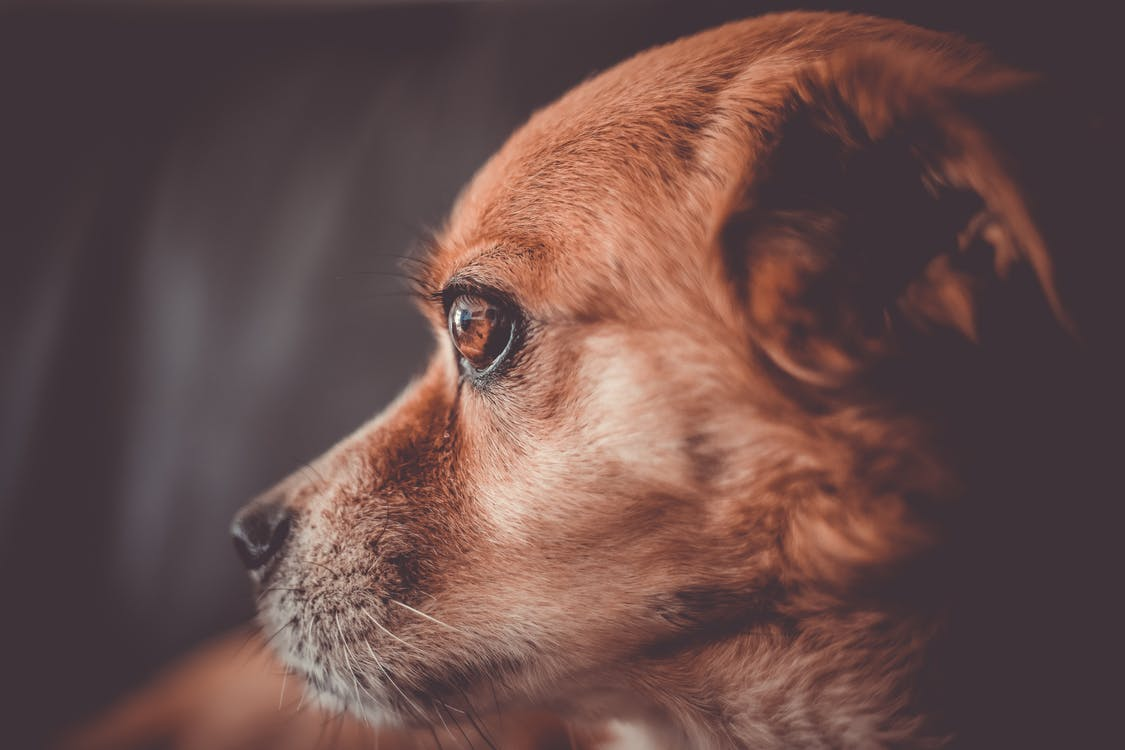 Brown Short Coated Dog