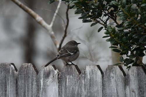 くちばし, スズメ, フェンスの無料の写真素材