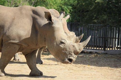 Brown Rhinoceros on Brown Sand