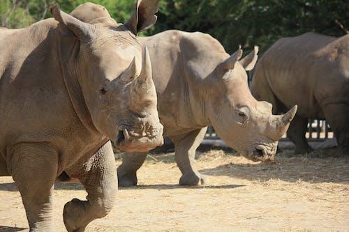 Group of Rhinoceros on Brown Sand