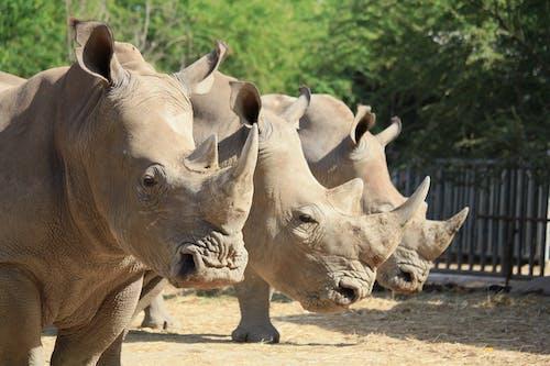 Group of Rhinoceros on Brown Soil