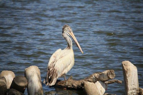 White Pelican on Brown Rock Near Body of Water