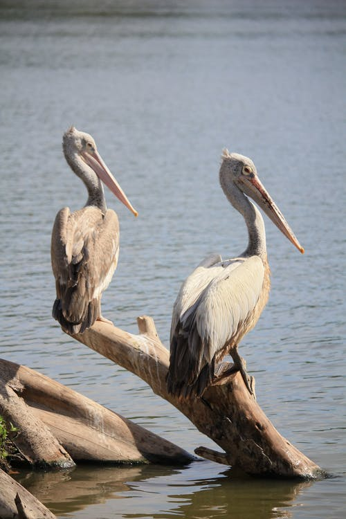 Pelicans Perched on a Driftwood