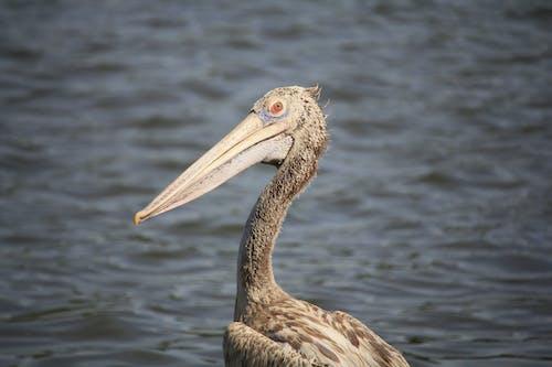 Brown Pelican on Body of Water