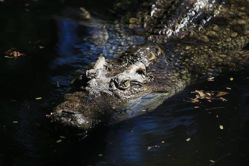 Základová fotografie zdarma na téma alfa, aligátor, crocodylus porosus