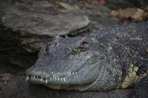 Black Crocodile on Gray Rock