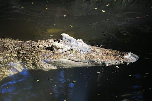 Brown Crocodile on Body of Water