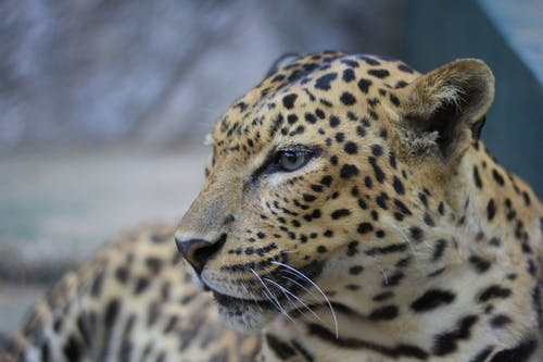 Brown and Black Cheetah in Close Up Photography