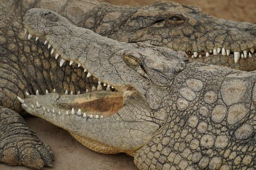 Crocodiles on Gray Concrete Floor