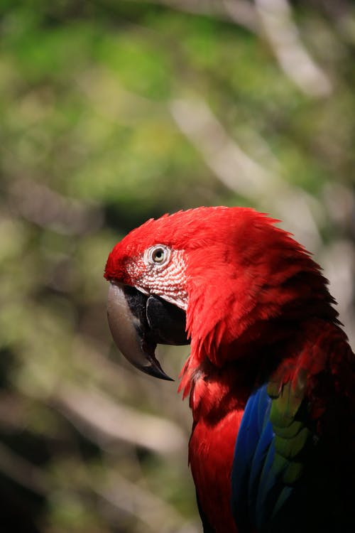 Red and Blue Macaw in Tilt Shift Lens