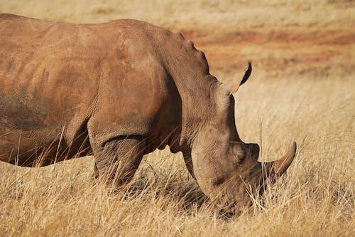Rhinoceros on Brown Grass Field