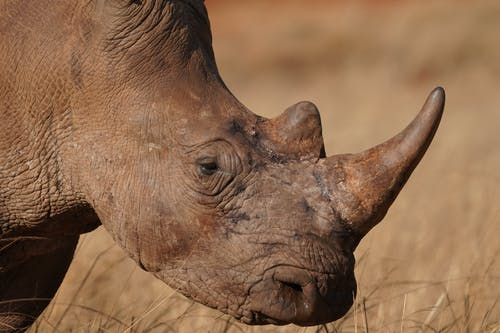 Brown Rhinoceros on Brown Grass Field
