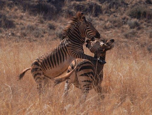 Zebra on Brown Grass Field