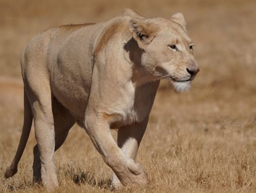 Photo of a Lioness