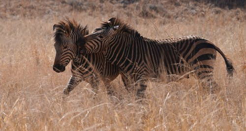 Two Zebras on the Field