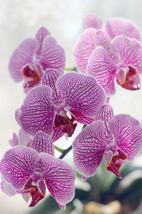 Purple Moth Orchids in Bloom Close Up Photo