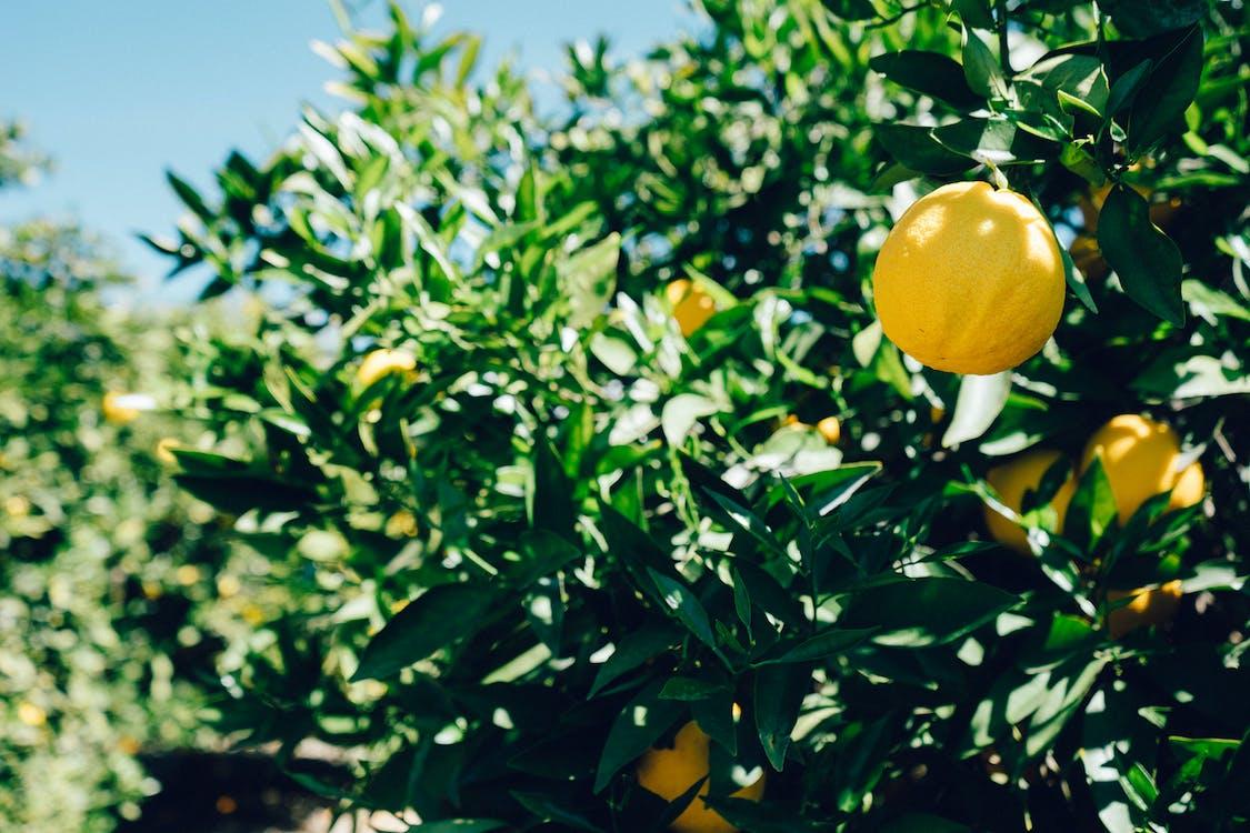 Lemons on tree