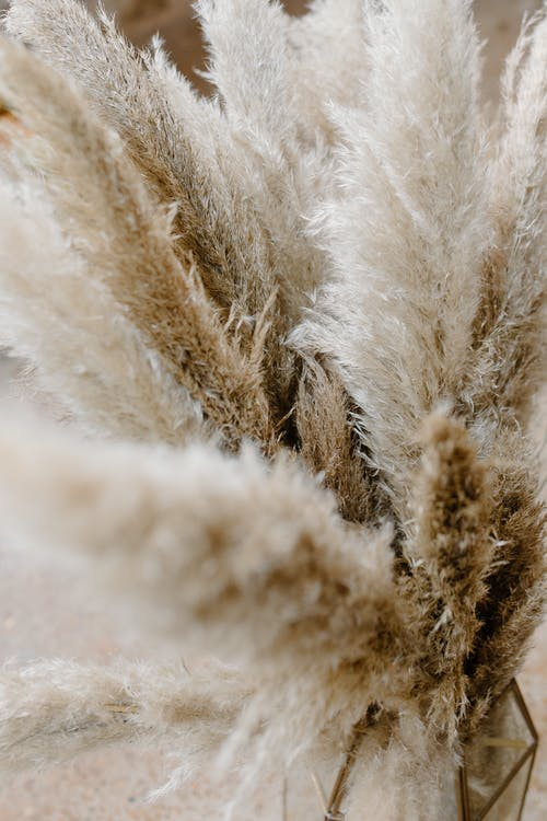 High angle of dried pampas grass perennial plant with rough leaves used for floral compositions and decoration