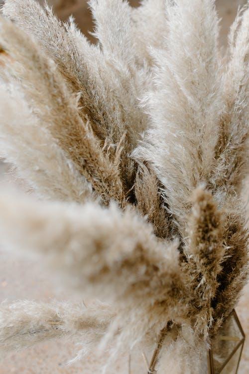Бесплатное стоковое фото с cortaderia selloana, ботаника, ботанический