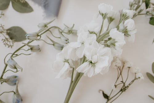 Blooming flowers on stems of matiola