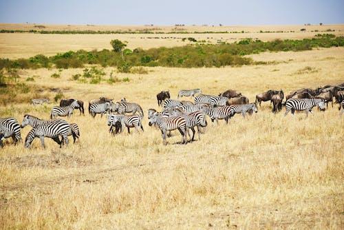 Zebras on Brown Grass Field