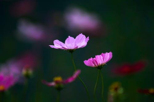 Gratis stockfoto met achtergrond wazig, bloeien, bloeiend