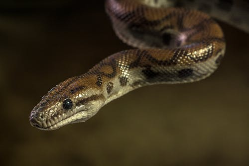Brown and Black Snake in Close Up Photography