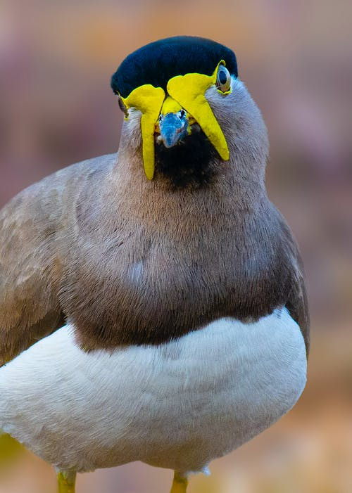Wild yellow wattled lapwing with smooth brown and white plumage standing in natural habitat