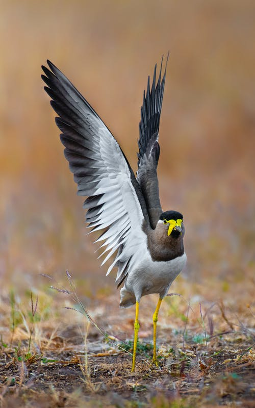 Single yellow wattled lapwing with spread wings standing on grass in natural habitat