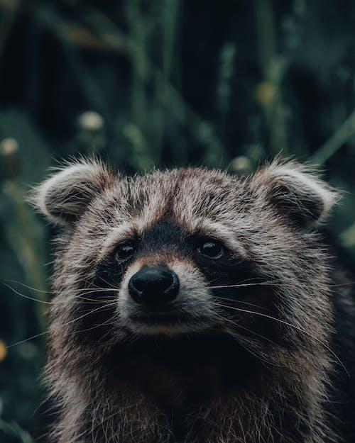 귀여운, 너구리, 눈의 무료 스톡 사진