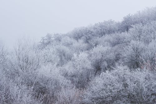 Snowy trees growing in forest
